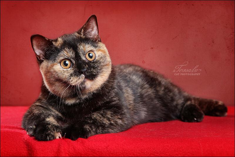 черепаховый окрас кошки фото расскажет откуда него