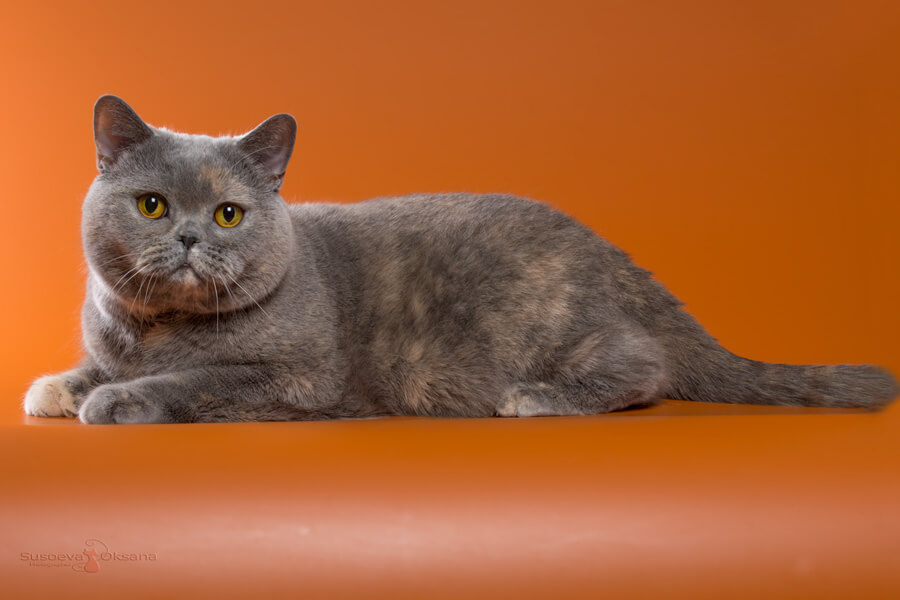 Порода кошки британская короткошерстная: характеристики, фото ... | 600x900