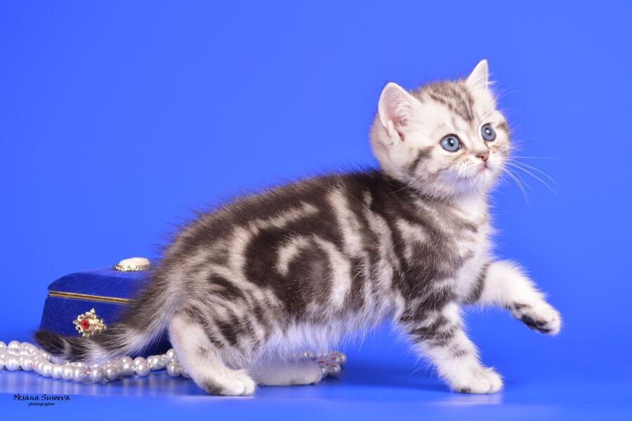 британские коты мрамор на серебре фото проведенного