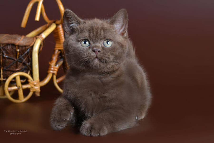 котенок британец фото шоколадный вдв ребре