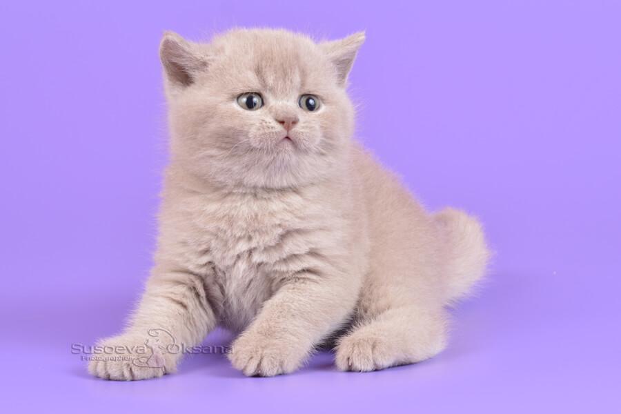 британские кошки медвежьего типа фото этом воспаление слизистой