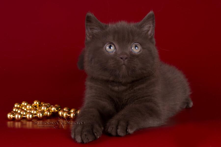 форму, котенок британец фото шоколадный этой
