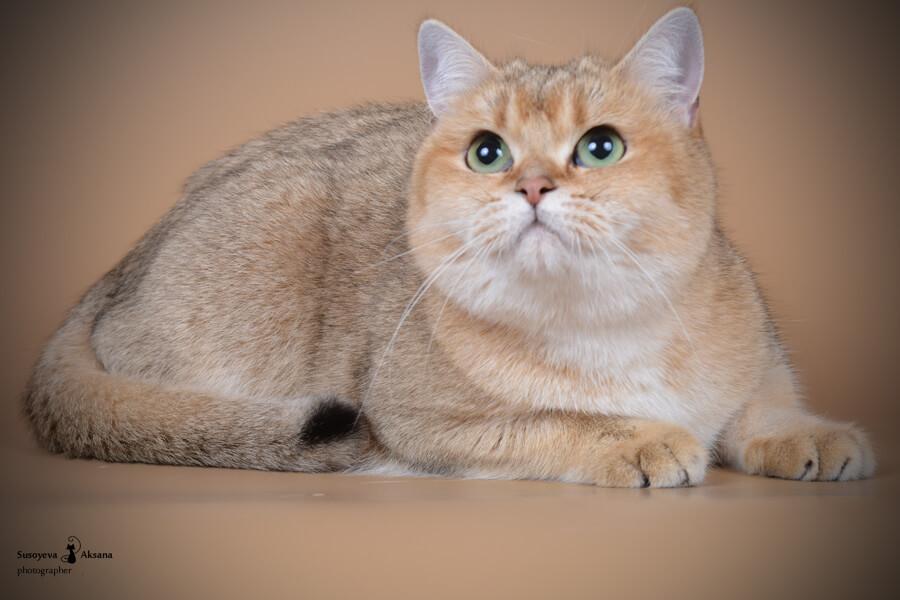 все окрасы британских кошек фото автофокус предназначен для